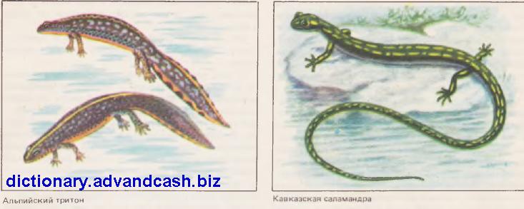 Альпийский тритон, кавказская саламандра