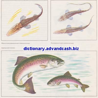 Малый амударьинский лжелопатонос, Сыодарьинский лжелопатонос, Аральский лосось