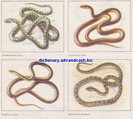 Закавказский полоз, Эскулапова змея, Японский полоз, Афганский литоринх,
