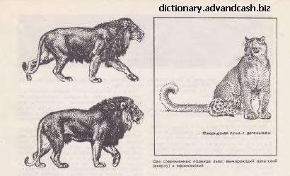 Флоридская пума.Азиатский лев.