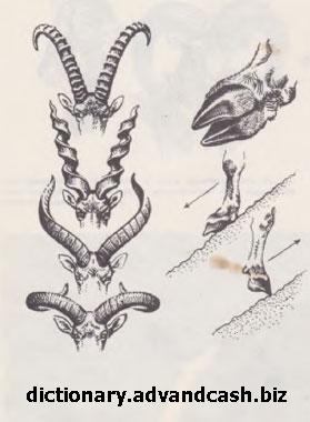 Форма рогов у горных козлов