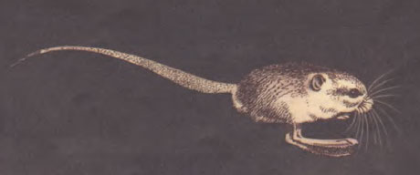 Пятипалый карликовый тушканчик