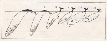 Характер погружения китов