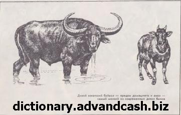 Дикий азиатский буйвол