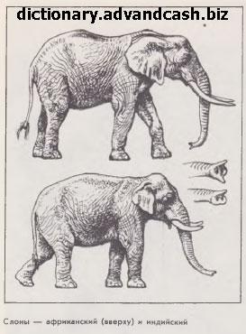 Слоны — африканский и индийский