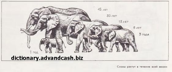 Слоны растут в течение всей жизни