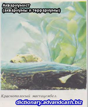 Краснополосый мастацембел | Аквариумист (аквариумы и террариумы)