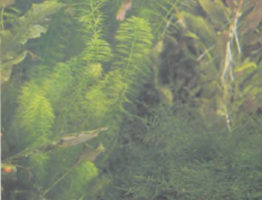 Водные растения аквариума| Аквариумист (аквариумы и террариумы)